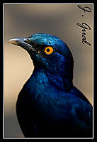 Cape_Glossy_Starling_retrato.jpg