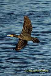 Phalacrocorax_carbo.jpg