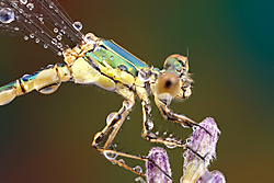 Agrion-canon.jpg